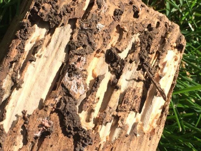 Dégats termites